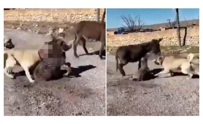 Çoban köpeklerini eşek yavrusuna saldırtan cani yakalandı!
