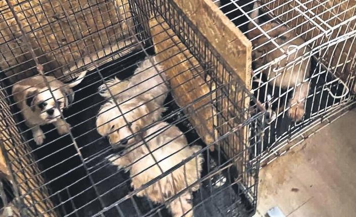 Ankara'da ses telleri kesilen köpekler sahiplendirilecek