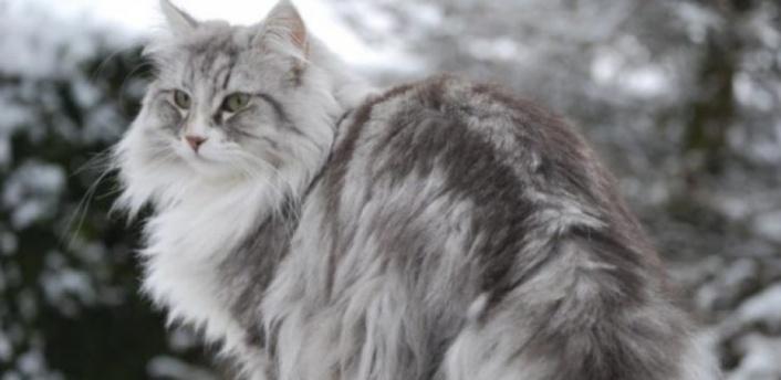 Kediler kaç derece soğuğa dayanabilir? Kediler üşür mü?