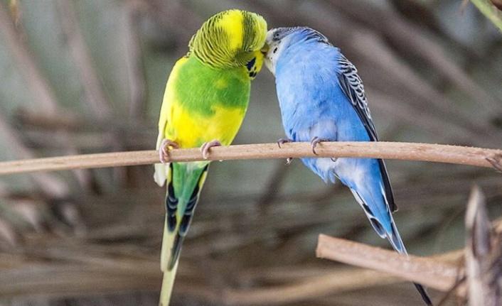Muhabbet Kuşları Neden Kusar? Sebepleri Nelerdir?