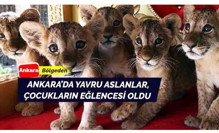 Çocukların eğlencesi haline gelen minik aslanlar Ankara'da ilgi görüyor