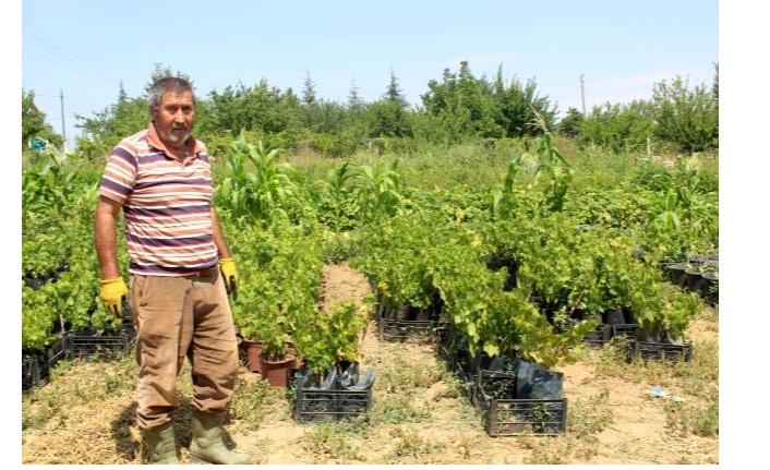 Ata tohumunun yaygınlaşması için çalışmalar sürüyor