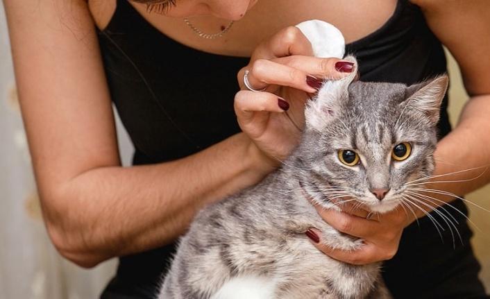 Kedilerde Kulak Uyuzu Nedir ve Tedavisi Nasıldır?