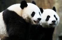 Kapatılan hayvanat bahçesindeki pandalar ilk kez çiftleşti