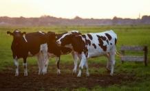 Yeni Sağılan İnek Sütü Dolapta Ne Kadar Bekler?