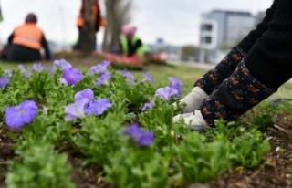 Ankara'nın yeşil alanları 24 milyon çiçekle...
