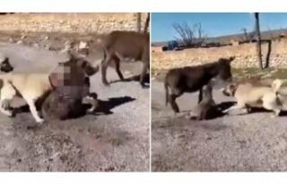 Çoban köpeklerini eşek yavrusuna saldırtan cani...