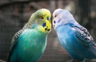Muhabbet Kuşunun Konuşması İçin Ne Yapılmalıdır?