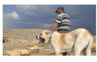 Aksaray Malaklısı Köpek Özellikleri