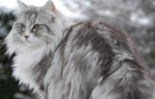 Kediler kaç derece soğuğa dayanabilir? Kediler...