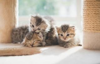 Kedi Bakmanın Aylık Maliyeti 2021