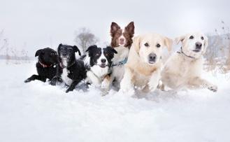 Köpekler Soğukta Üşür mü?