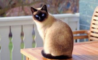 Siyam Kedisi Özellikleri Nelerdir?