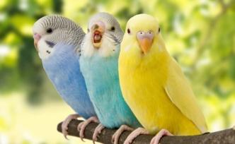 Muhabbet Kuşlarının Üremeleri