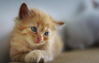 Tüy Dökmeyen Kediler