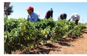Gölbaşı Belediyesi Ata Tohumu Dağıtımına Başladı
