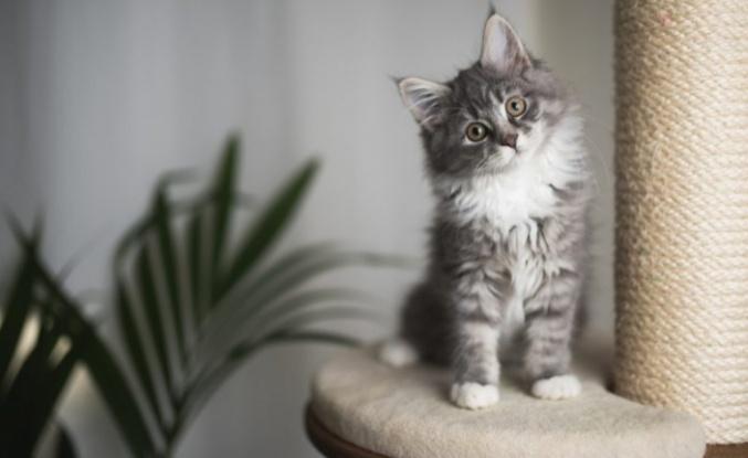 Yavru Kedi Annesinden Ne Zaman Ayrılmalıdır?
